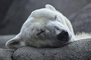 dormir comme un ours polaire