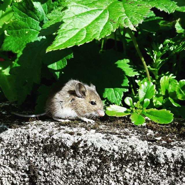 Une souris dans le jardin